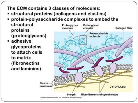 fibrin fibronectin cell attach google  cell