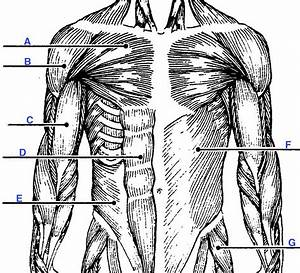 Muscle Labeling At Washington State University