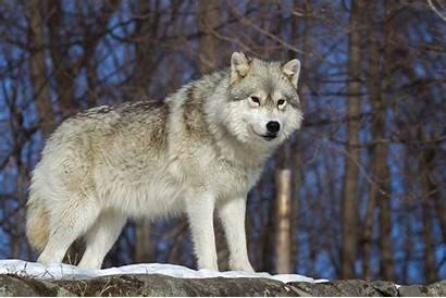 Wolf Arctic Canada Screen Alert Ready Wolves