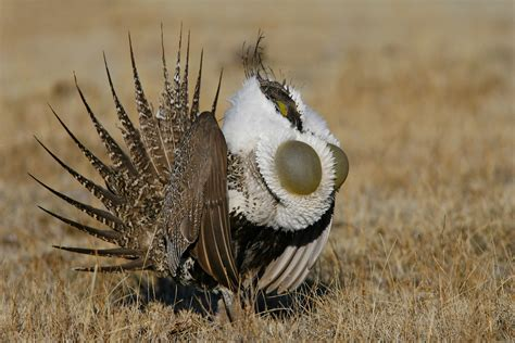 greater sage grouse audubon field guide