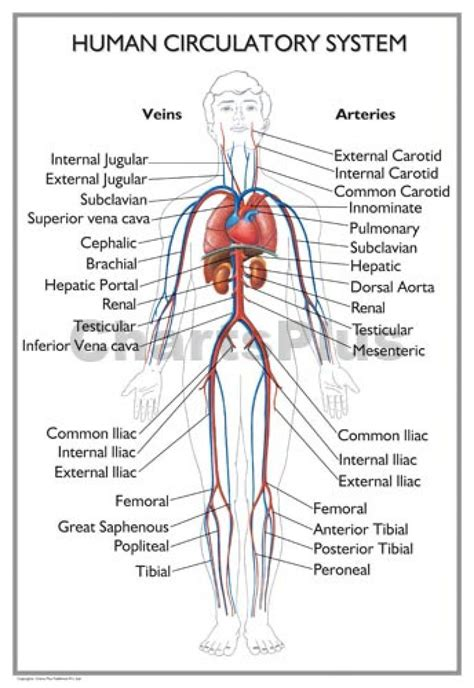 Human Circulatory System  Organ Anatomy