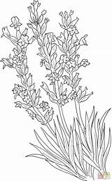 Lavender Coloring Pages Drawing Angustifolia Lavandula Common Flowers Printable Colouring Supercoloring Plants Flower Plant Adults Getdrawings Paper Lavanda Per Crafts sketch template