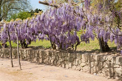 Vines That Handle Drought  Learn About Drought Tolerant