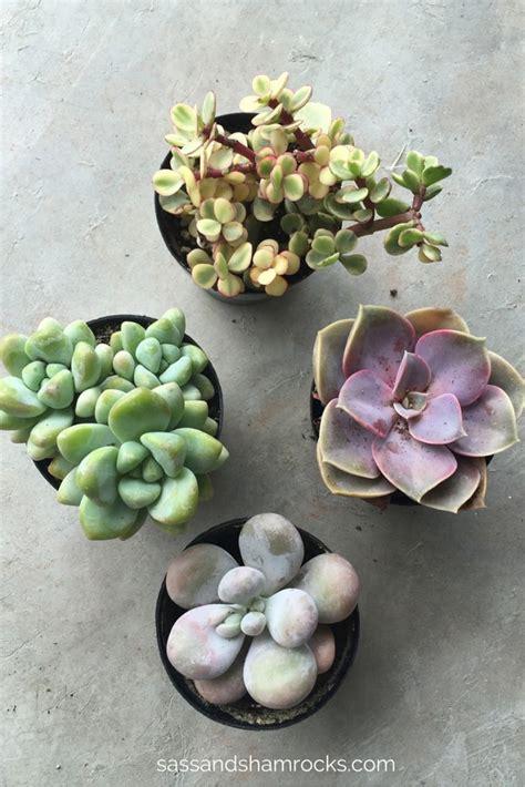Succulents For Beginners  Sass & Shamrocks