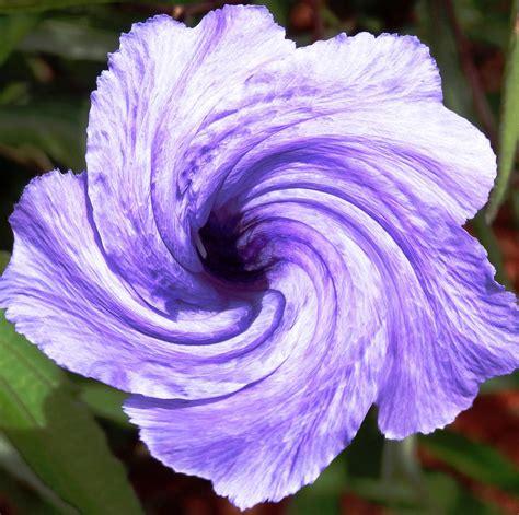 purple petunia twirl photograph by belinda