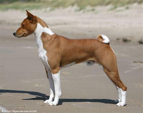 17 best images about basenji love on pinterest barking