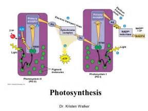Photosynthesis Linear Electron Flow