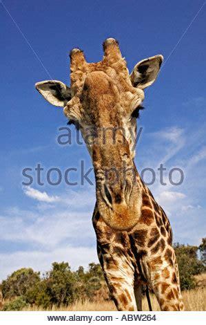 heigth of an adult giraffe jpg 299x470