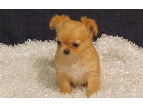 Chihuahua Puppies For Adoption Animals Anchorage Kentucky Announcement