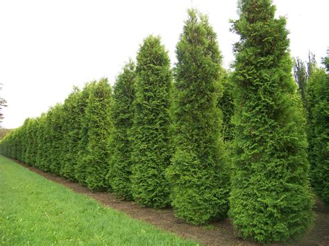 thuja occidentalis brabant thuja occidentalis brabant garden design ideas