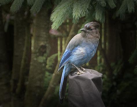 black headed blue jay photograph by don saxon