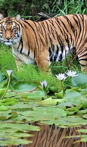 Bengal Tiger   Jukani Wildlife Sanctuary, Plettenberg Bay ...