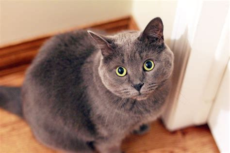 close  photography  russian blue cat  stock photo