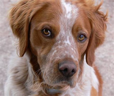 brittany dog breed and photos and videos list of dogs breeds