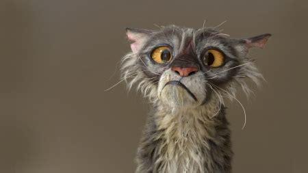 Ugly Cat  Cats & Animals Background Wallpapers On Desktop