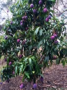 Dwarf Mango Trees