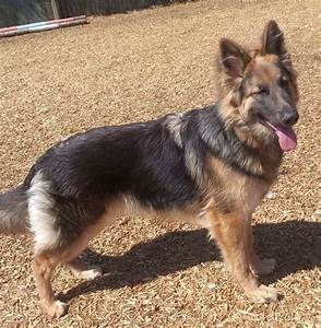 Blue & Tan GSD Female | Coalville, Leicestershire | Pets4Homes