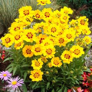 free delivery flowers coreopsis sterntaler