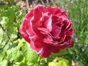 Alte Rosensorten Stark Duftend : rosensorten duftrosen baron baron girod de l ain ~ Michelbontemps.com Haus und Dekorationen