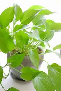 Pothos, Houseplants, Easy, Low, Light, Plant