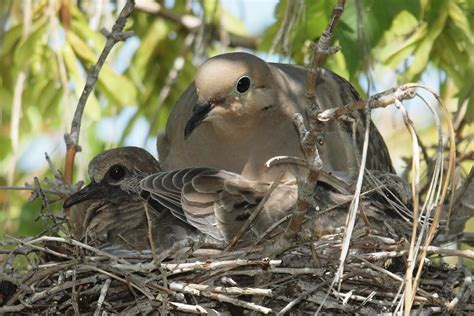 birding is fun mourning dove momma