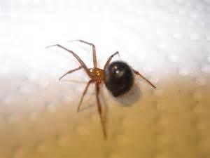 florida spider bugguidenet