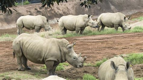 siege habitat rhinoceros san diego zoo animals plants