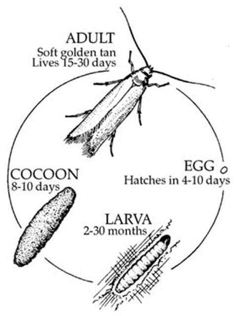 Cycle Of A Pantry Moth Handmade Rug Moth Damage Restoration