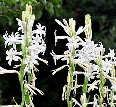 Tanaman Hias Bunga Sedap Malam tanaman sedap malam bibitbunga