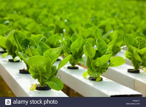 hydroponics stock  hydroponics stock images alamy