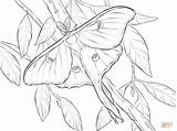 Moth Luna Coloring Realistic Printable Atlas Drawing Colouring Butterfly Line Drawings Tattoo Dot sketch template