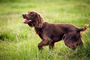 boykin spaniel dog breed information pictures