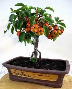 Apfelbaum carmens bonsai garten online shop fur bonsai for Garten planen mit bonsai acer