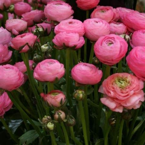 192 best images about flowers ranunculus buttercup on