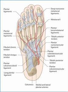 Ankle And Foot Joints