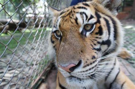 Picture Of Tiger Kingdom Chiang Mai, Mae Rim