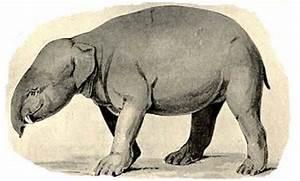 Evolution of elephants  Phosphatherium