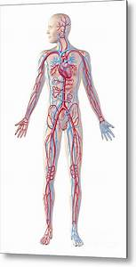 Human Body Diagram Circulatory System
