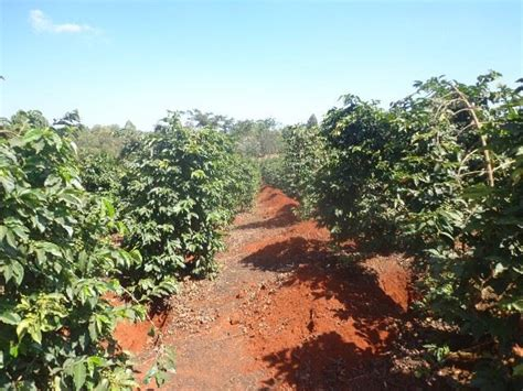 List of plants for sale companies and services in south africa. 303 Acres Coffee Farm In Kiambu, Kenya