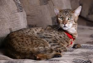 hybrid cats plans to import hybrid supercats concerning zoo abc