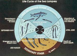 Sea Lamprey Biology