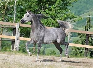 Dapple grey Arabian horse | Horse Girl | Pinterest