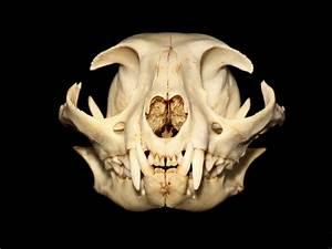 Comparison Of A Human  U0026 Cat Skeleton