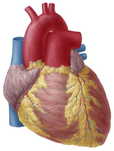 Heart (Anatomy) - Study Guide | Kenhub