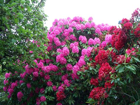 pictures of rhododendron file garden with rhododendrons jpg wikimedia commons