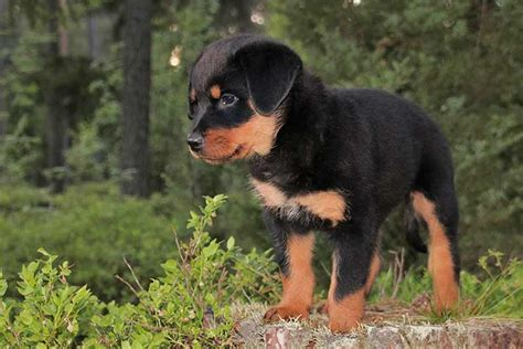 rottweiler names  great ideas  naming  rottie