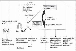 Mechanism Of Arsenic Poisoning  Vahter  1994