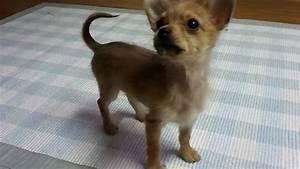 My Cute Chorkie Puppy - YouTube