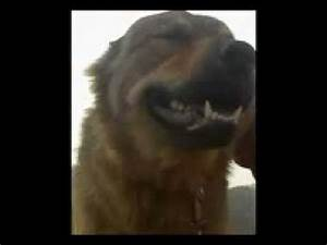 afghan shepherd dog breed | FunnyDog.TV