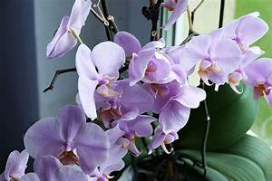 Growing orchids SA Garden and Home